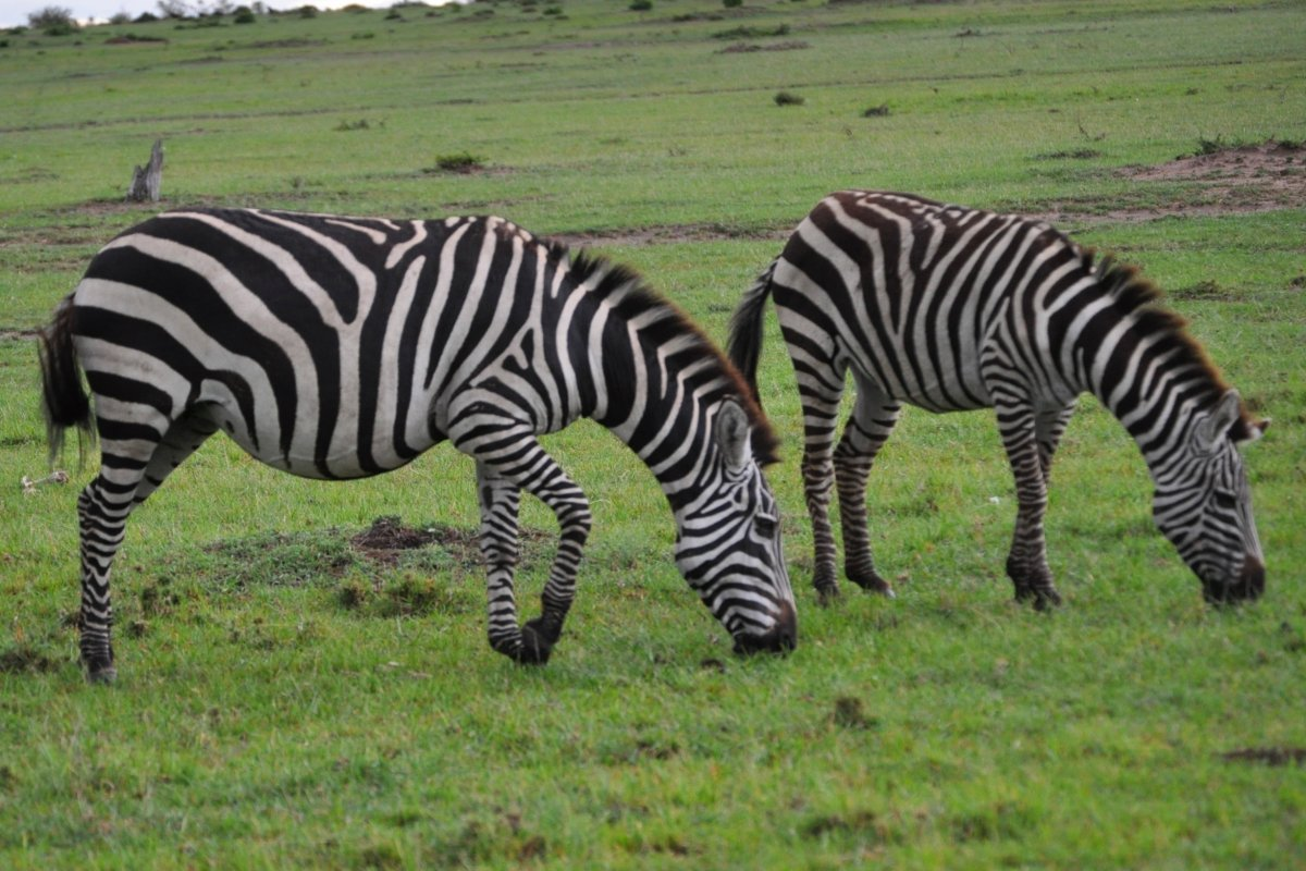 Zebras at Masai Mara