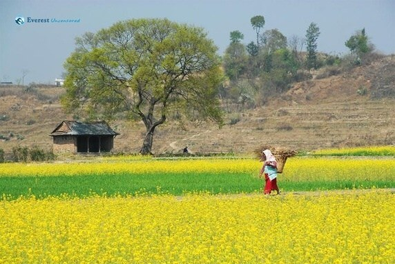 Mustard Fields of Khokana