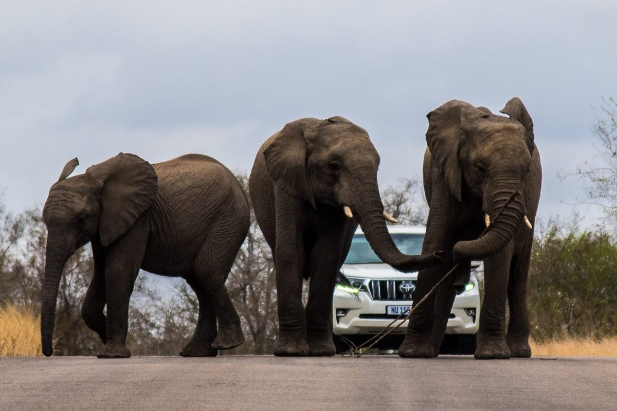 Elephants on the road nside Kruger