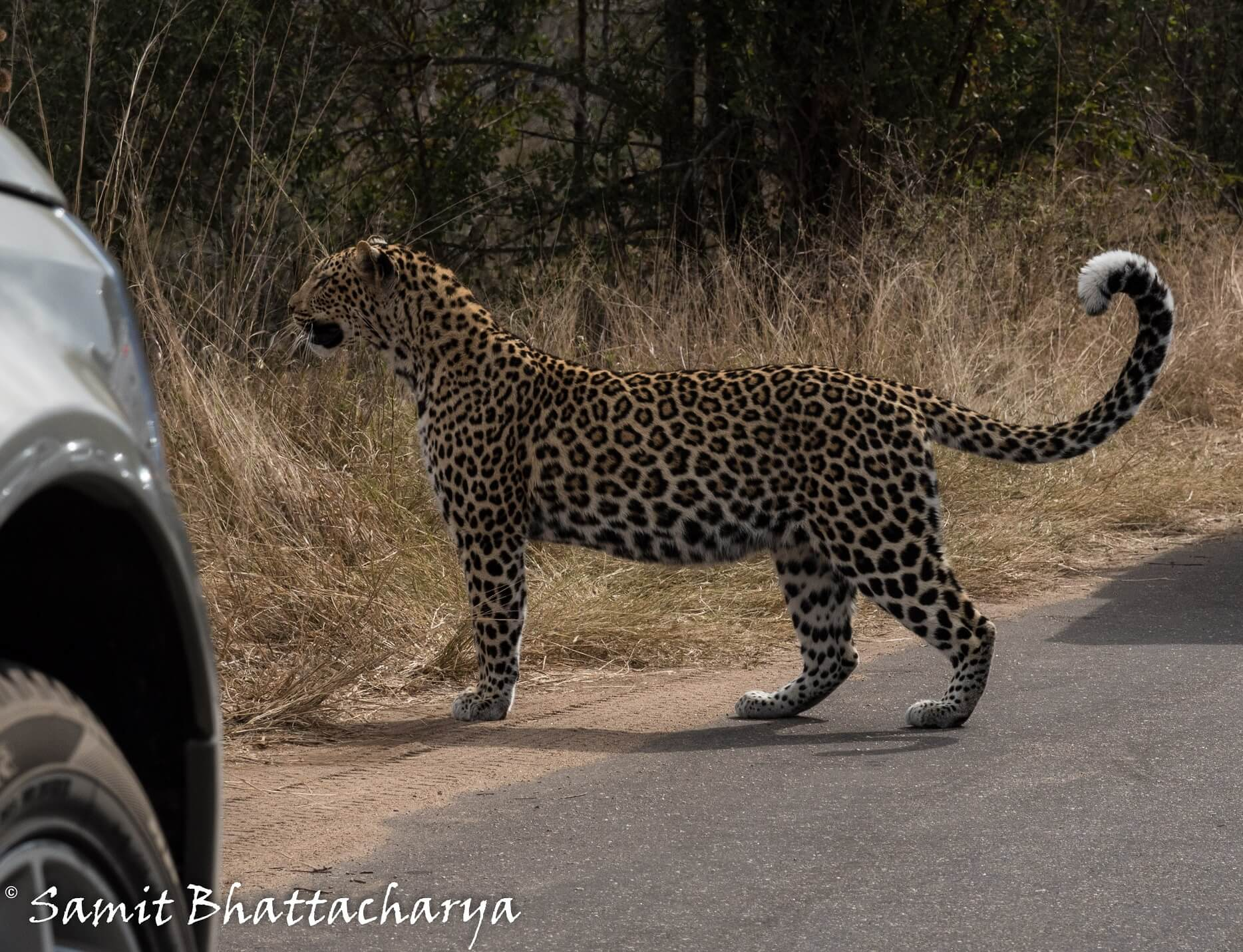 Leopard behind the car in Kruger