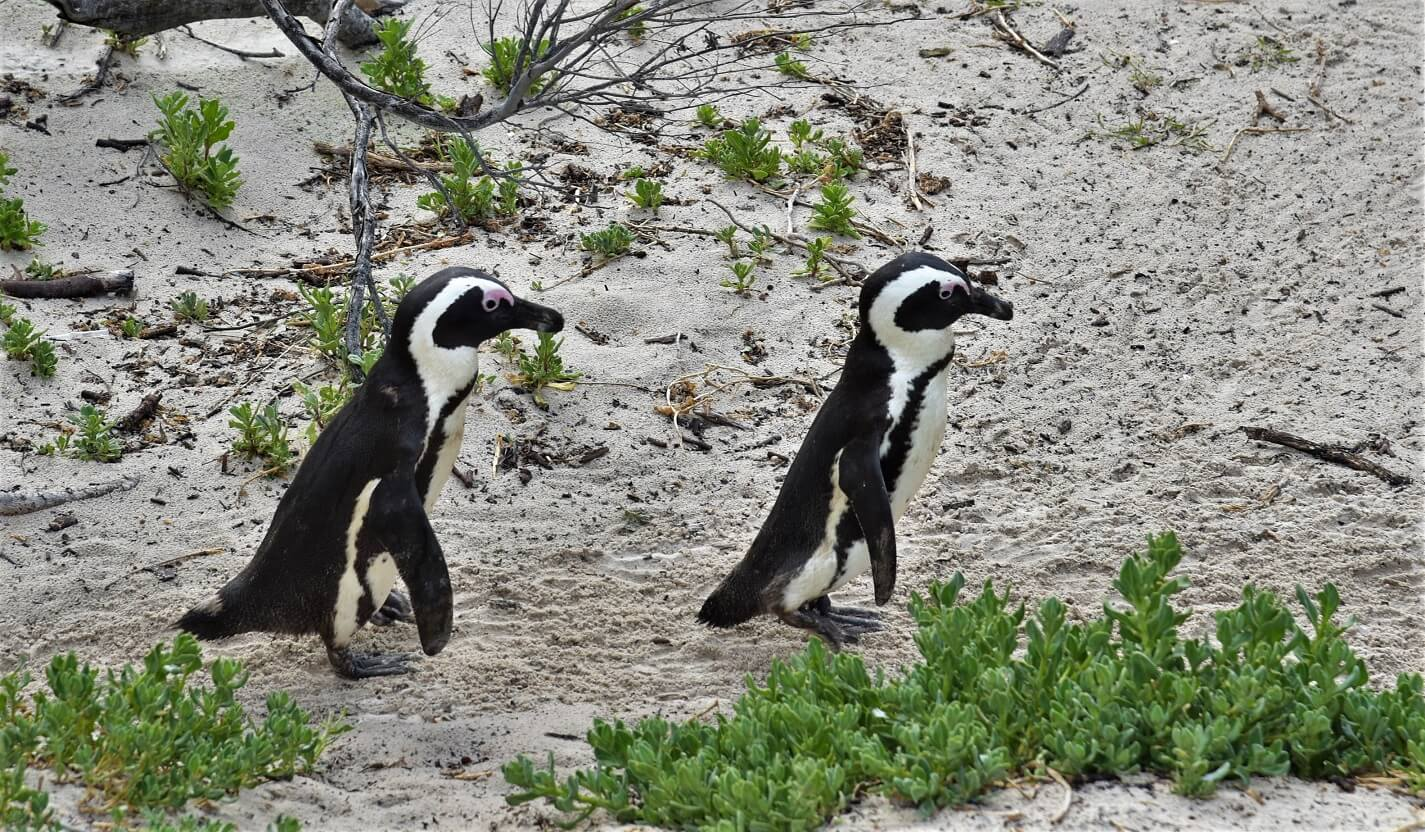 Penguins at Boulder's Beach