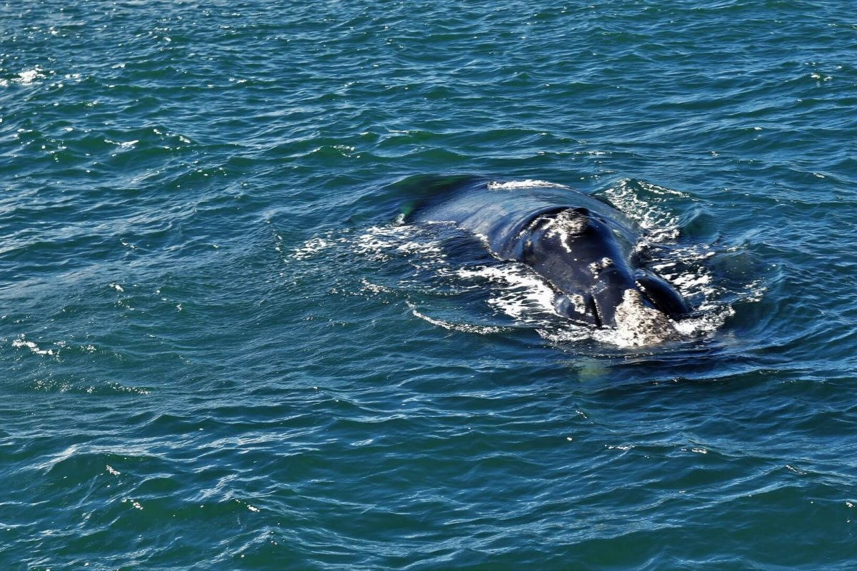 Whale near Hermanus