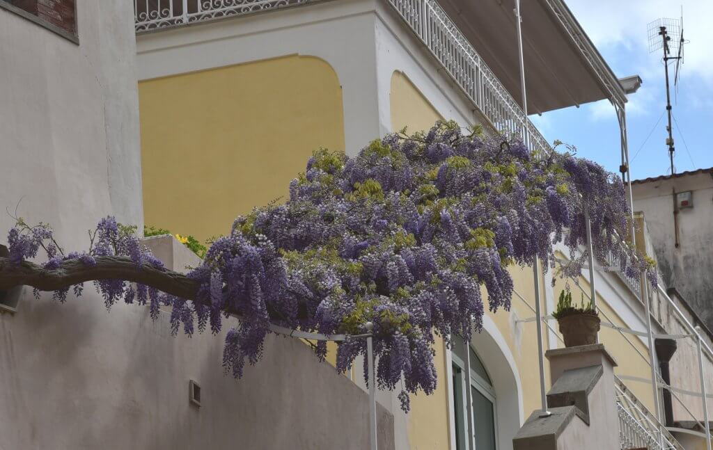 Wisterias hanging from a house at Positano