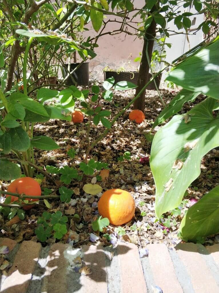 Oranges on the ground -at our BnB