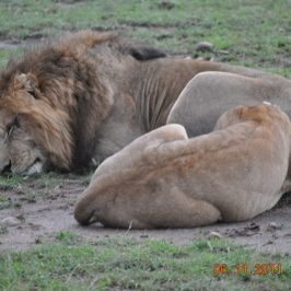 In Search of Hippos and the lone Lion at Masai Mara